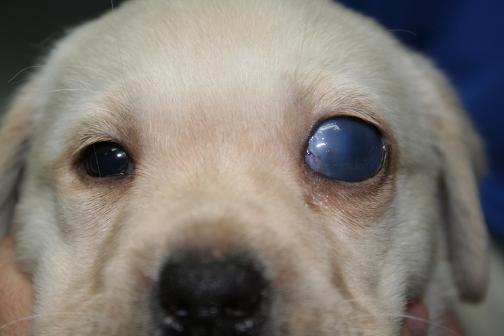Glaucoma congénito en un cachorro de Labrador Retriever: ojo izquierdo