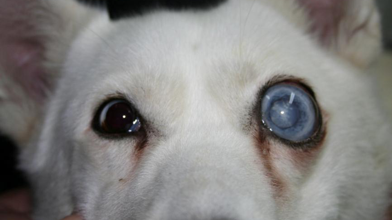 Glaucoma crónico en un perro mestizo de Husky Siberiano. Ojo izquierdo