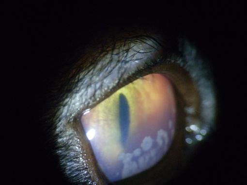 Uveítis anterior en un gato secundaria a una enfermedad sistémica