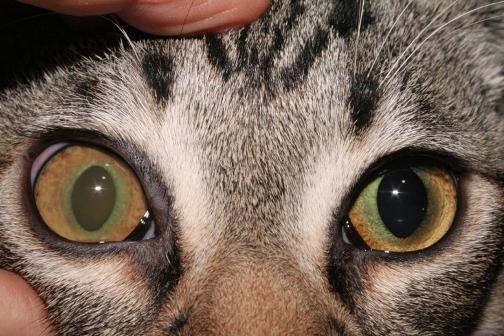 Uveitis anterior en un gato: afecta al ojo derecho  y es secundaria a una enfermedad sistémica infecciosa