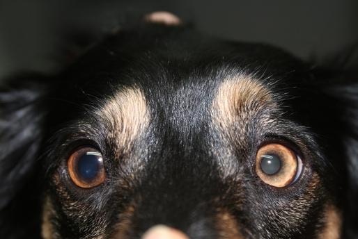 Uveitis anterior en un perro: afecta al ojo izquierdo y es secundaria a una catarata