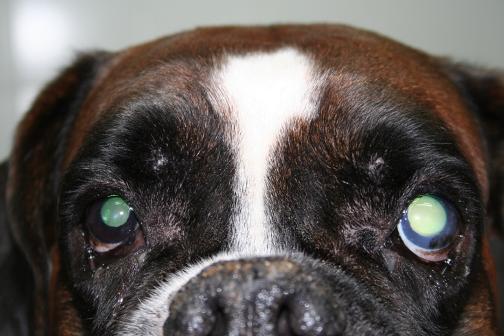 Glaucoma crónico de ángulo cerrado en un Bóxer: ojo izquierdo