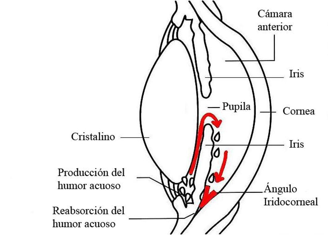 Explicación del glaucoma en perros. Visualvet